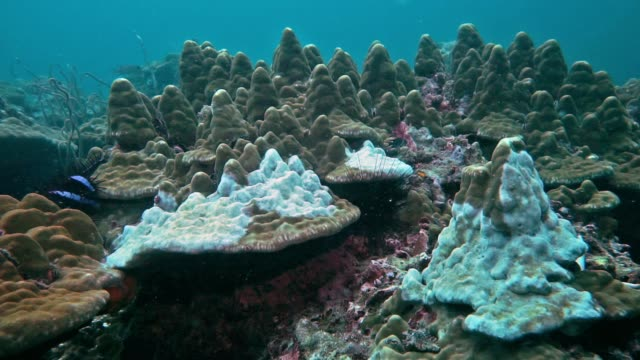 vídeos de stock e filmes b-roll de underwater coral bleaching on reef caused by crown of thorns starfish (acanthaster planci) - acidificação dos oceanos