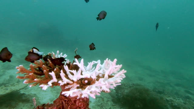 underwater coral bleaching progression in table coral environmental damage - coral stock videos & royalty-free footage