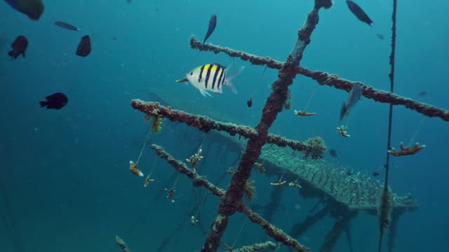 underwater coral fragments growing on artificial reef - coral stock videos & royalty-free footage