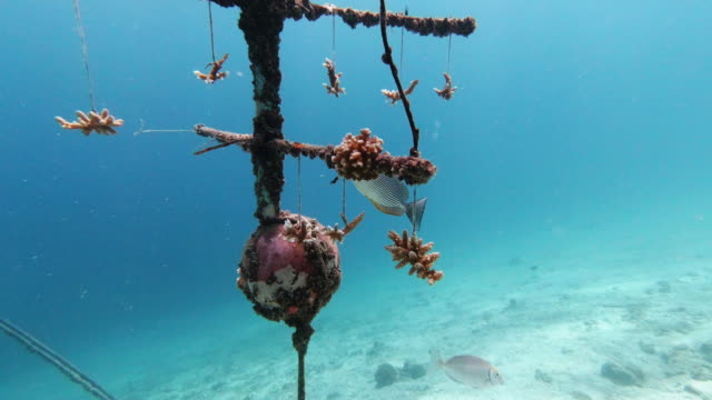 vídeos de stock e filmes b-roll de underwater coral nursery artificial reef growing baby corals environmental conservation project - acidificação dos oceanos