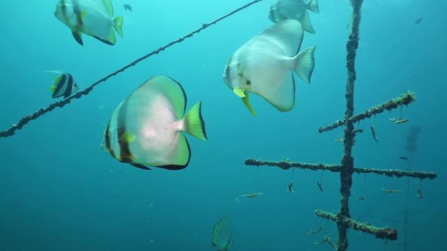 vídeos de stock, filmes e b-roll de recife artificial subaquático do berçário coral com escola dos peixes - acidificação dos oceanos