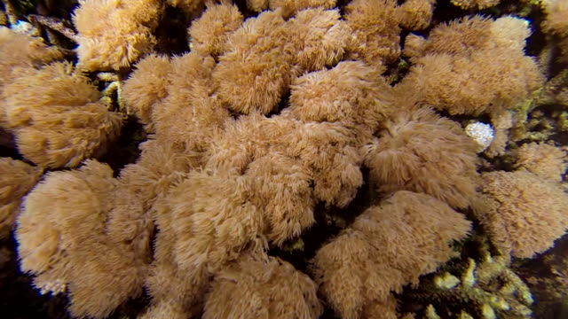 vídeos de stock e filmes b-roll de underwater coral reef - bali - cor creme
