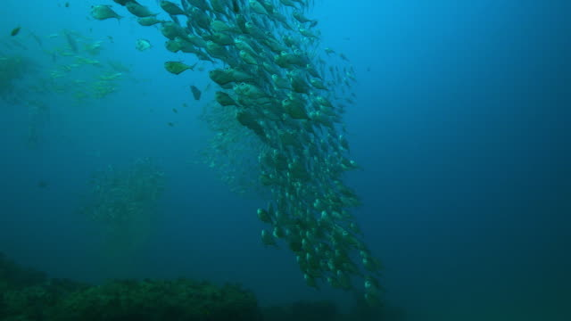 underwater coral reef with swirling shoals of hatchetfish swimming above it close to camera - 40 o più secondi video stock e b–roll