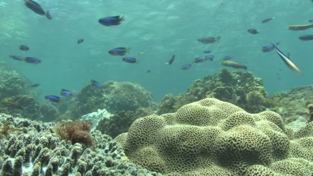 underwater, corals and fish, kozushima, japan - triglia tropicale video stock e b–roll