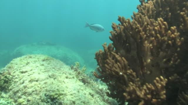 underwater, corals and fish, kozushima, japan - damselfish stock videos & royalty-free footage