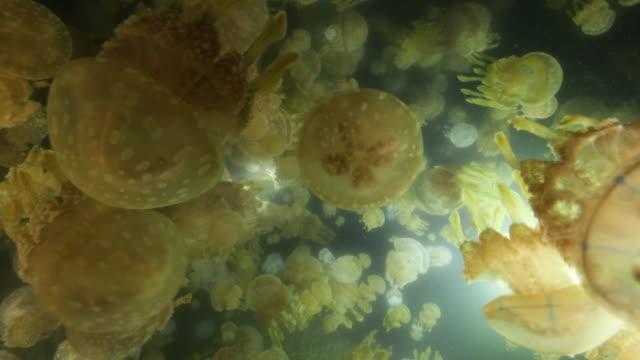 underwater; countless spotted jelly, kagoshima, japan - クラゲ点の映像素材/bロール