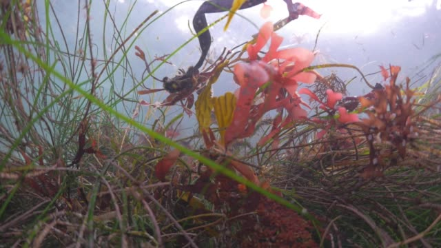 underwater: crab pushed into sea grass by strong current - seegras segge stock-videos und b-roll-filmmaterial