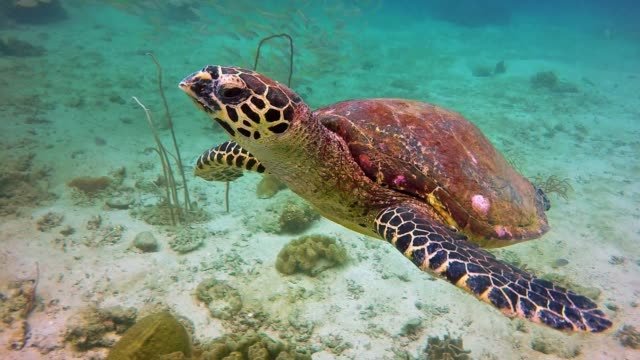 Underwater Critically Endangered Hawksbill Sea Turtle (Eretmochelys imbricata) at Phi Phi, Thailand