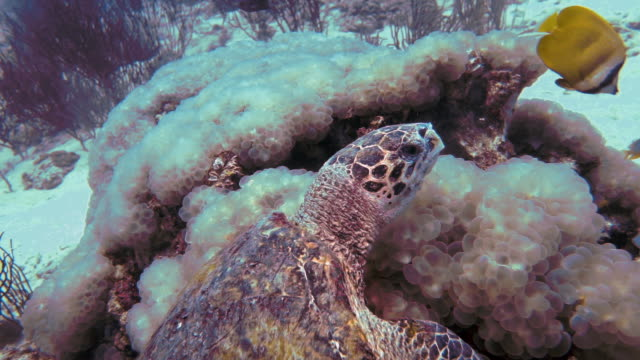 Underwater Critically Endangered Hawksbill Sea Turtle (Eretmochelys imbricata) eating coral