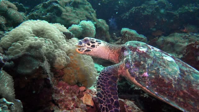 underwater critically endangered hawksbill sea turtle (eretmochelys imbricata) eating coral - turtle shell stock videos & royalty-free footage