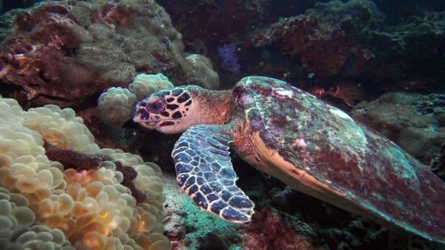 水中批判的に絶滅したタイマイウミガメ (Eretmochelys imbricata) サンゴを食べる
