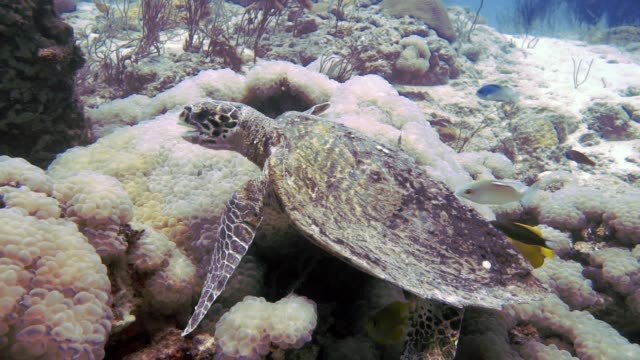 underwater critically endangered hawksbill sea turtle (eretmochelys imbricata) eating coral - ocean acidification stock videos and b-roll footage