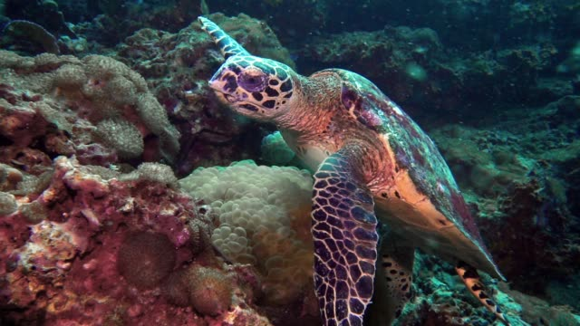 Underwater Critically Endangered Hawksbill Sea Turtle (Eretmochelys imbricata) on coral reef