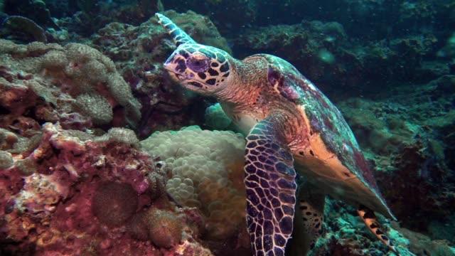 vídeos de stock e filmes b-roll de underwater critically endangered hawksbill sea turtle (eretmochelys imbricata) on coral reef - acidificação dos oceanos
