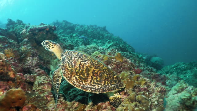 underwater critically endangered species hawksbill sea turtle (eretmochelys imbricata) resting on coral reef - animal shell stock videos & royalty-free footage