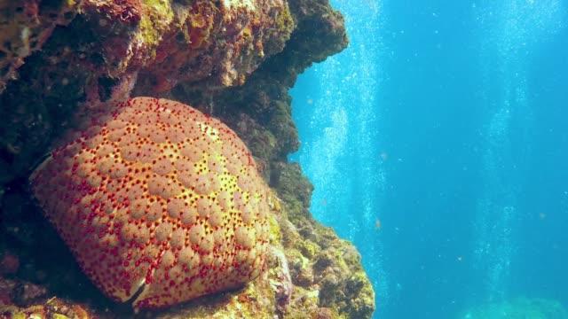 vídeos de stock, filmes e b-roll de subaquática almofada estrela do mar peixe (culcita novaguineae) em recifes de corais - estrela do mar