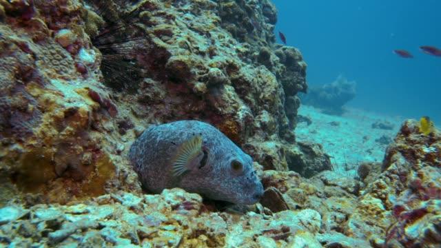 underwater cute dog faced puffer fish (arothron nigropunctatus) - balloonfish stock videos and b-roll footage