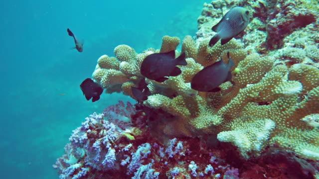underwater damselfish on healthy coral reef - corallo molle corallo video stock e b–roll