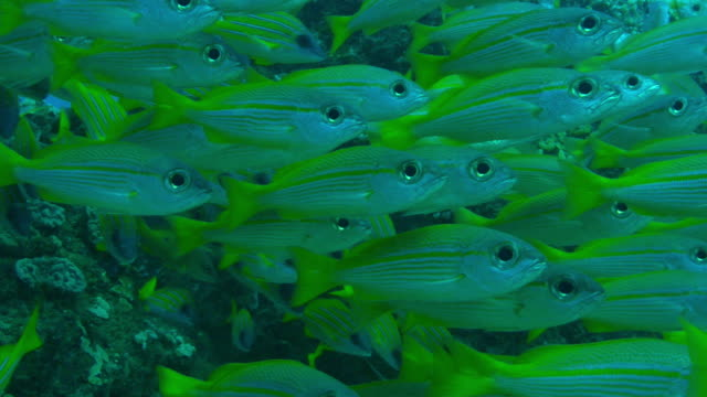 underwater cu dense shoal of yellow goatfish and bluelined snapper floating over reef - triglia tropicale video stock e b–roll