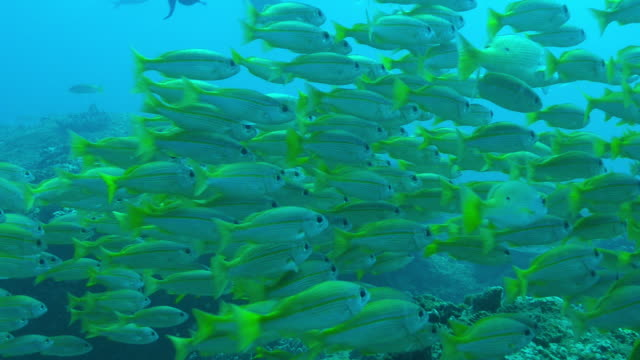 underwater cu dense shoal of yellow goatfish floating over reef - triglia tropicale video stock e b–roll