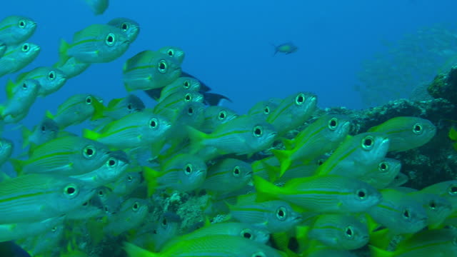 Underwater CU dense shoal of Yellow Goatfish floating over reef