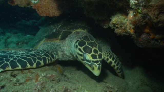 underwater diving and scenics of ponta do ouro/ mozambique - echte karettschildkröte stock-videos und b-roll-filmmaterial
