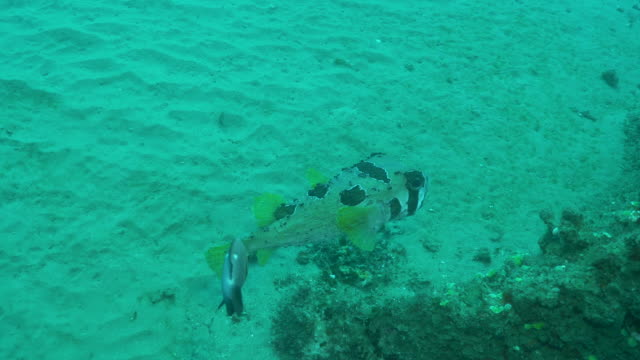 underwater diving and scenics of ponta do ouro/ mozambique - balloonfish stock videos and b-roll footage