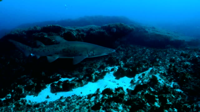 underwater diving and scenics of sodwana bay/ south africa - sand tiger shark stock videos and b-roll footage