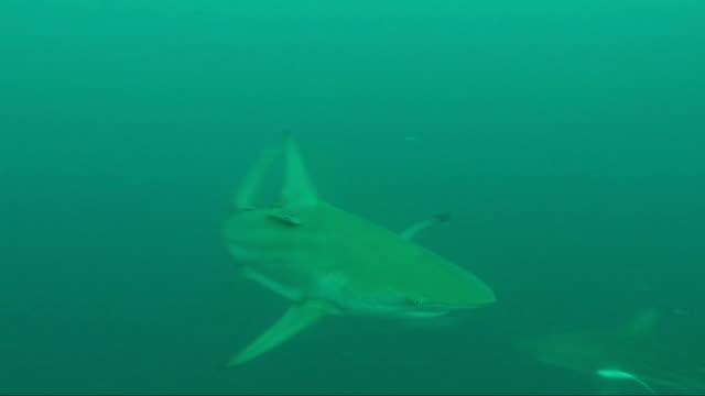 vídeos de stock e filmes b-roll de underwater diving and scenics of sodwana bay/ south africa - tubarão galha preta