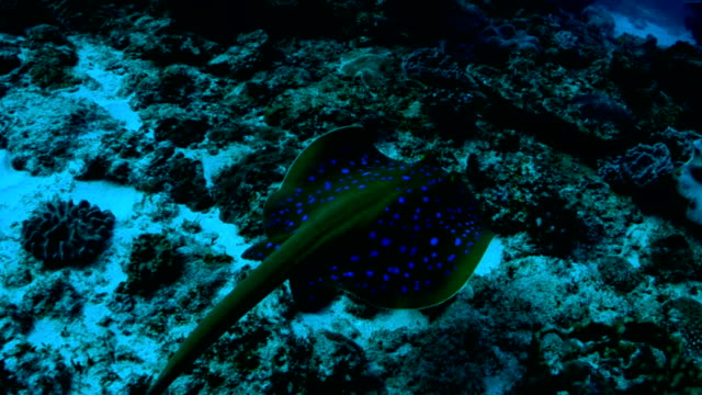 underwater diving and scenics of sodwana bay/ south africa - bluespotted stingray stock videos & royalty-free footage