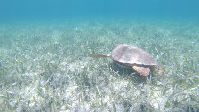 underwater diving following a hawksbill sea turtle - hawksbill turtle stock videos & royalty-free footage
