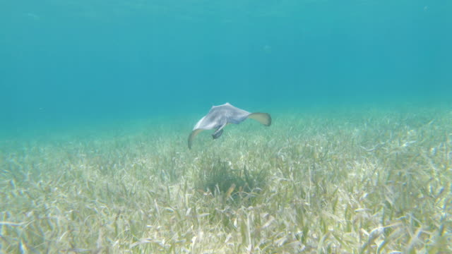 underwater diving following a stingray - southern stingray stock videos and b-roll footage