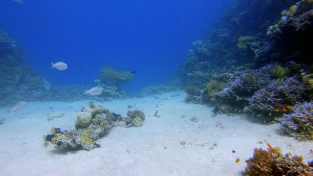 vídeos y material grabado en eventos de stock de buceo submarino en hermoso arrecife de coral con una gran cantidad de peces tropicales en el mar rojo - bahía de lahami / marsa alam - lecho del mar