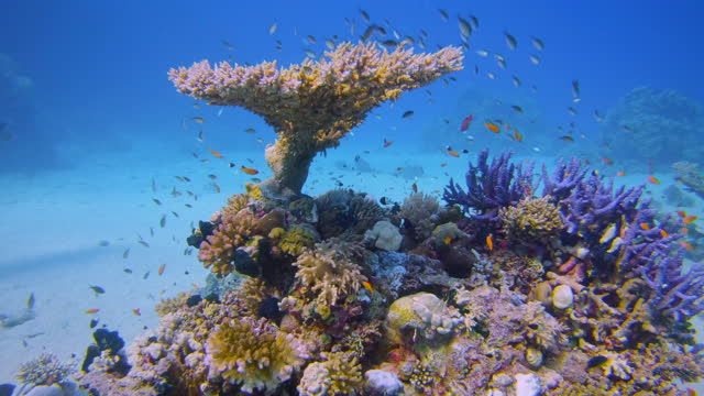 underwater diving on beautiful coral reef with lot of tropical fish on red sea - lahami bay / marsa alam - coral cnidarian stock videos & royalty-free footage