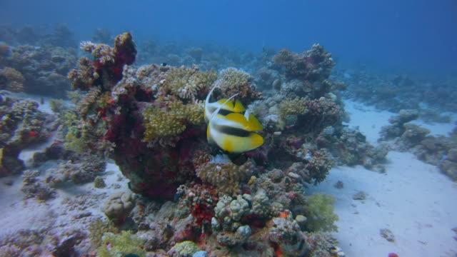 紅海の旗魚(ヘニオコス・インターミウス)を持つ美しいサンゴ礁の水中ダイビング - ラハミ湾/マルサ・アラム - ソフトコーラル点の映像素材/bロール