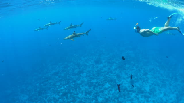 vídeos de stock, filmes e b-roll de underwater diving snorkeling with sharks in bora bora tropical island. - polinésia francesa