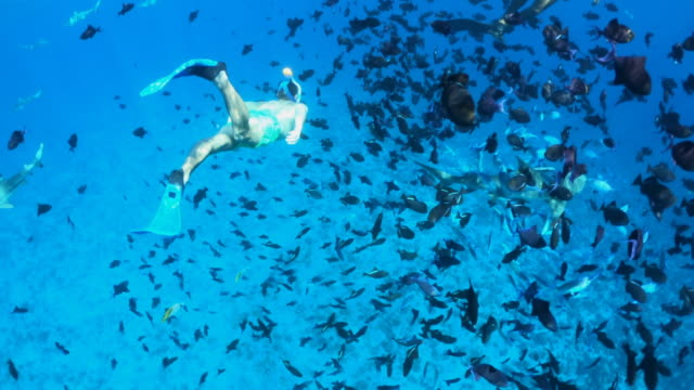 vidéos et rushes de underwater diving snorkeling with sharks in bora bora tropical island. - lagon