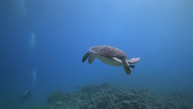 underwater diving with green sea turtle sleeping in red sea / marsa alam - red sea stock videos & royalty-free footage