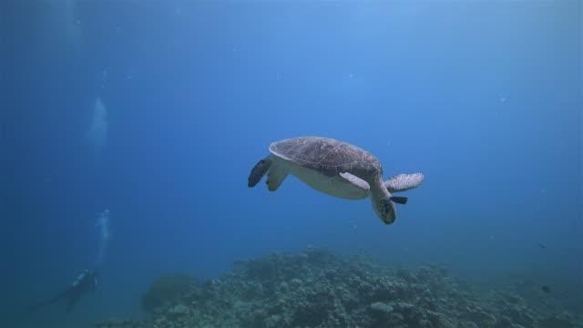 vidéos et rushes de plongée sous-marine avec tortue de mer verte dormant dans la mer rouge / marsa alam - animals in the wild