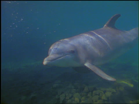 underwater pan dolphin swimming past camera in ocean / others in background - piccolo gruppo di animali video stock e b–roll