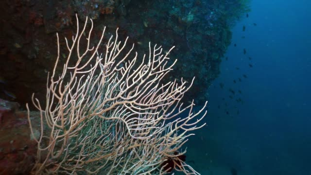 underwater ellisella gorgonian sea fan coral a carbon capture system - gorgonian coral stock videos & royalty-free footage