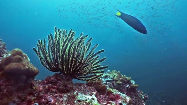 サンゴ礁の水中の羽海星 (lamprometra 調査) - ヒトデ点の映像素材/bロール