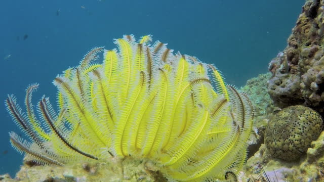 vídeos de stock, filmes e b-roll de subaquática pluma estrela do mar (lamprometra palmata) em recifes de corais - estrela do mar