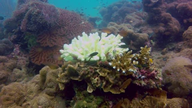 vídeos de stock e filmes b-roll de underwater finger coral (stylophora pistillata) suffering coral bleaching - acidificação dos oceanos