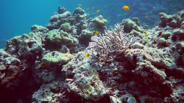 vídeos de stock e filmes b-roll de underwater fire coral (millepora dichotoma) on bleached coral reef - acidificação dos oceanos