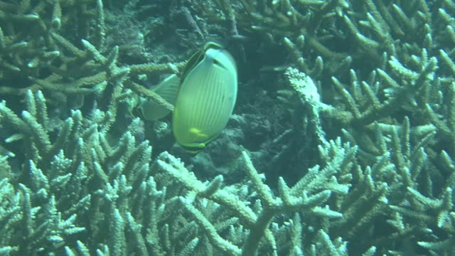 underwater, fish and coral reefs, okinawa, japan - butterflyfish stock videos & royalty-free footage