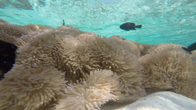 vidéos et rushes de underwater fish, sea anemone - dom tom