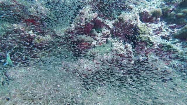 vídeos de stock, filmes e b-roll de cadeia alimentar subaquática moon wrasse (thalassoma lunare) caça peixes de vidro - hermafrodita