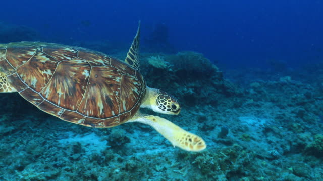 underwater footage in the kerama islands; a loggerhead turtle (caretta caretta) leisurely moving through the sea, okinawa, japan - chelonioidea stock-videos und b-roll-filmmaterial