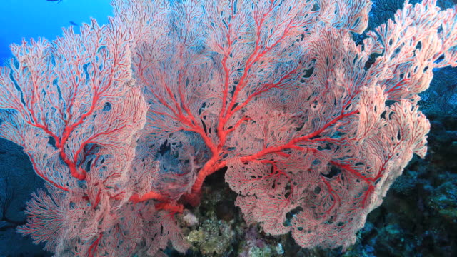 Underwater footage in the Kerama Islands; A red-colored sea fan in the sea off the Kerama Islands, Okinawa, Japan